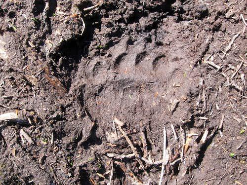 BIG bear track