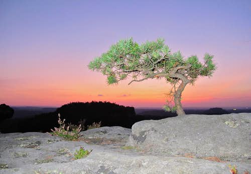 A tiny pine tree on the top of Papststein