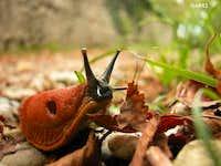 Arion Rufus A.k.a. Red slug