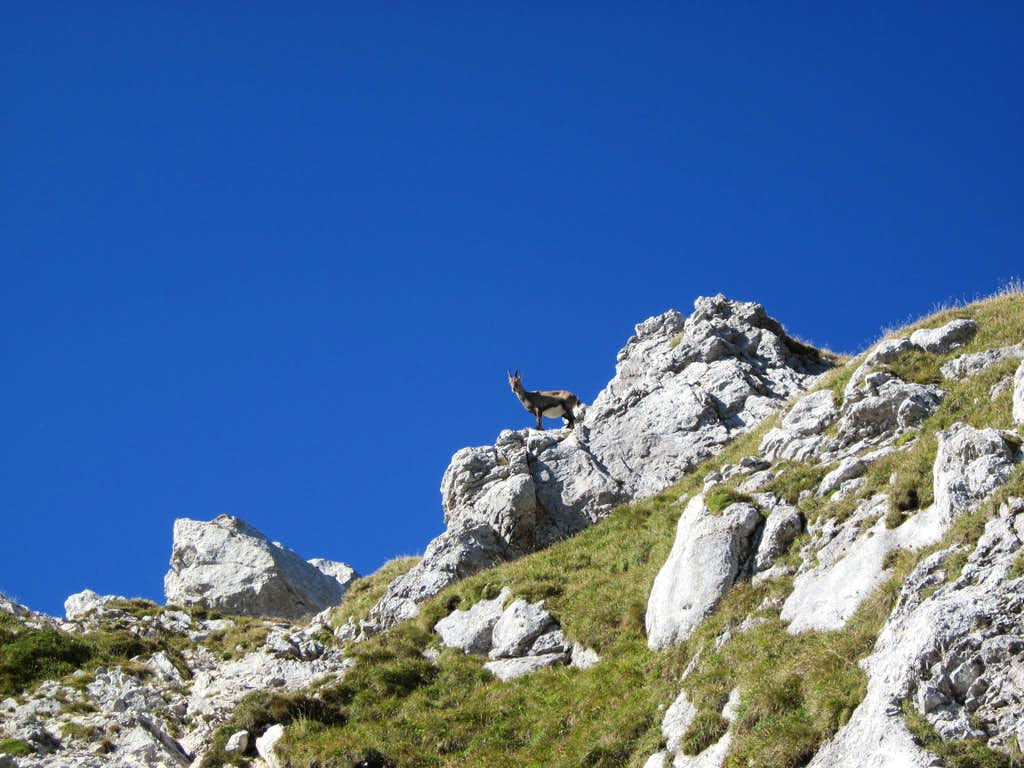 Yet another ibex on her watch