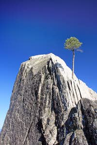 Lone pine in crag