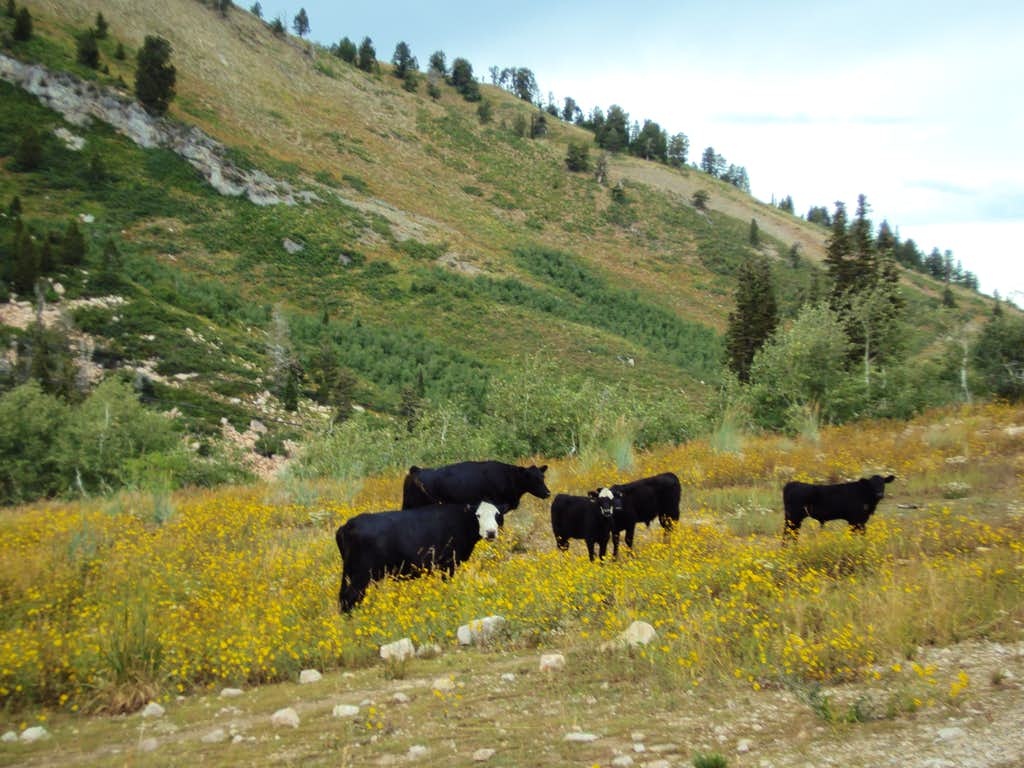 Cows on the Mt Ogden Trail