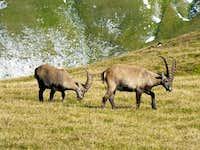 Ibex on Hochschwab Plateau