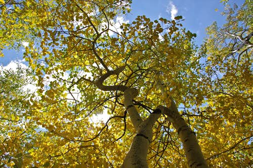 Aspens turning gold