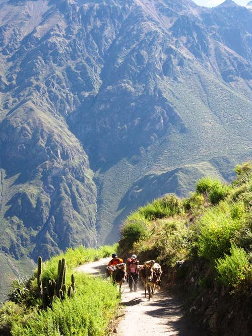 Mules coming up from Colca Canyon