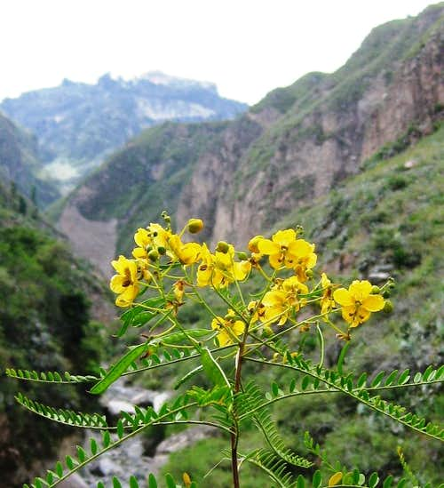 Colca Canyon Flowers
