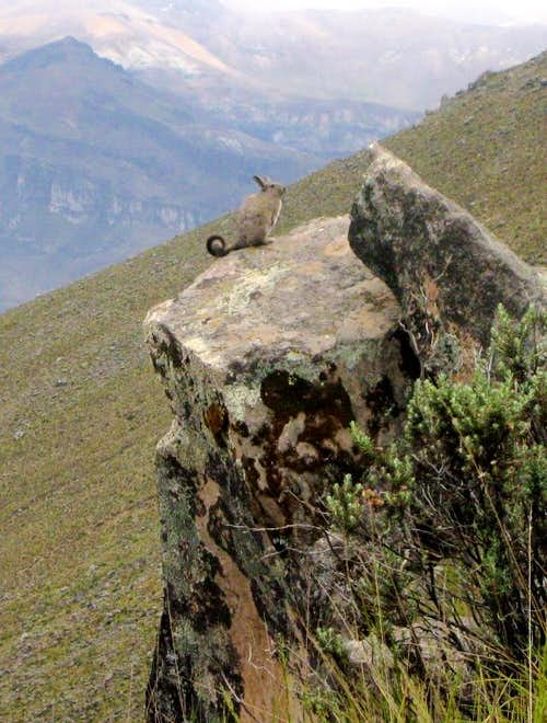 Viscacha on the rocks