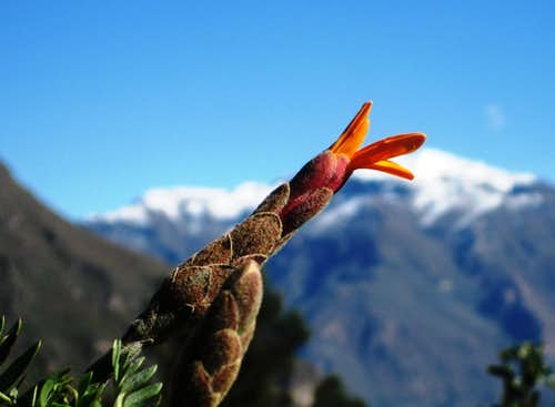Budding Flower against the backdrop of Cerro Bombaya