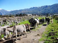 A mixed herd on the road from Maca