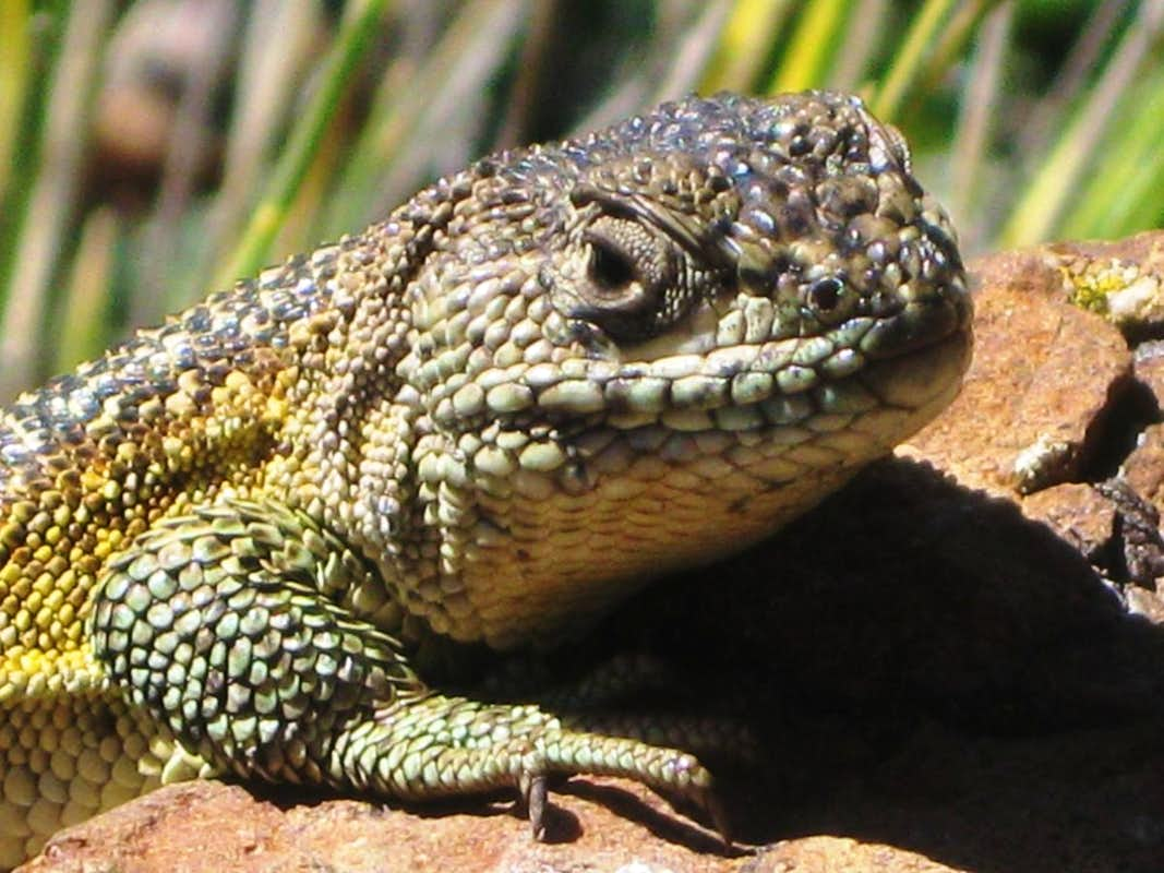 Lizard close up