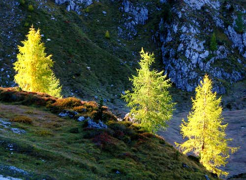 Larchs in Cadini Group