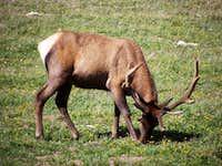 Elk Grazing near the Alpine Center