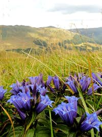 Willow Gentian in Bieszczady Mountains