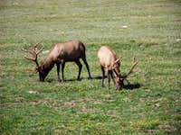 Elk Feeding Near Trail Ridge Road