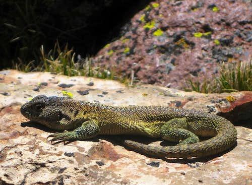 Sunbathing lizard