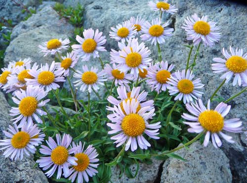 Beautiful Daisies Near the Summit