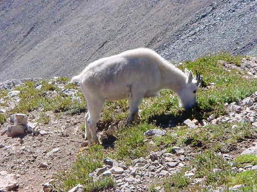 Mountain goat on the saddle...