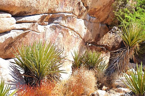 Yucca Plants near the base