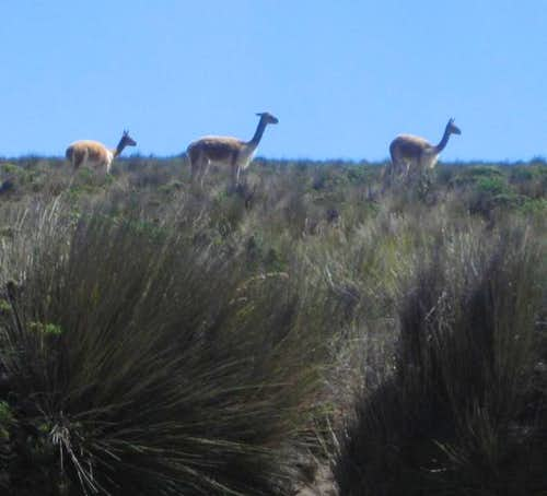 Vicuñas on the slower slopes of Chachani