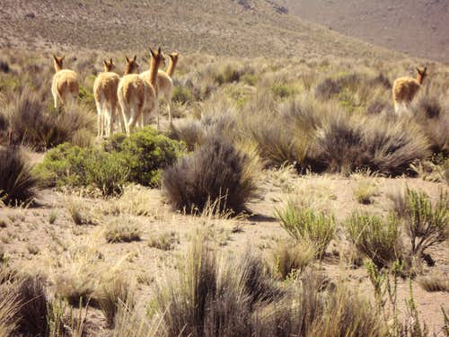 Vicuñas on the road up to Chachani