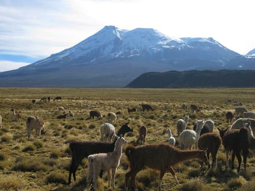 Alpacas and llamas on the plains east of Nevado Ampato