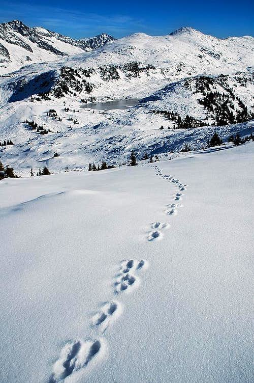 Wolverine Tracks on Mount Giegerich