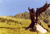 Ancient tree & Arpisson s Head above Senevé Alpage