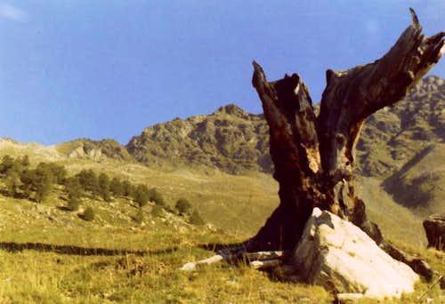 Ancient tree & Arpisson's Head above Senevé Alpage