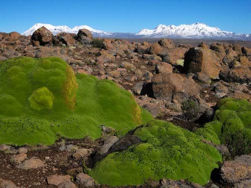 Yaretas on the high plains NW of Chucura