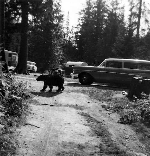 Glacier Park Bears