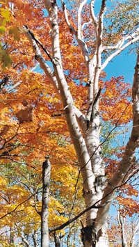 Birch and Maple during the...