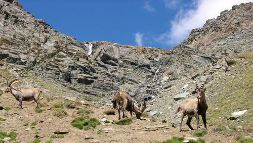 Group of Steinbocks (Capra ibex) <br> in the upper part of the Lauson basin