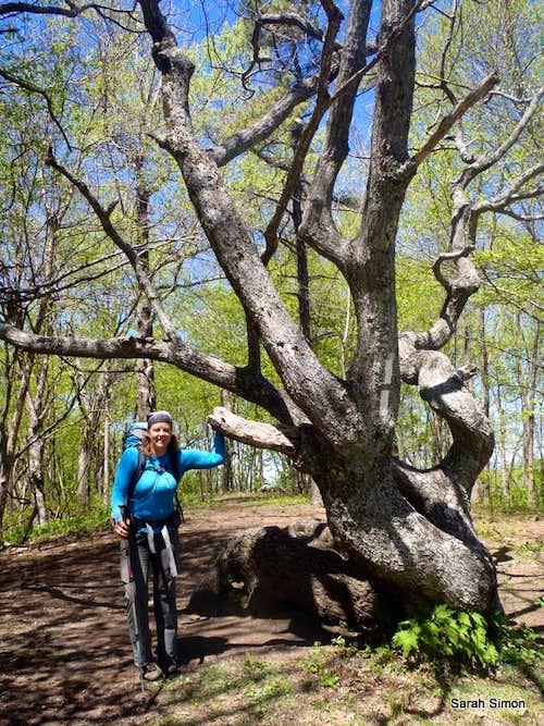 Famous Oak Tree