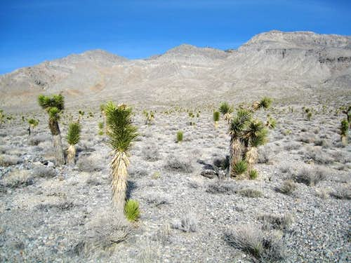Joshua Trees below Tin Mountain