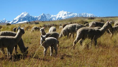 Alpacas against the backdrop of the Cordillera Vilcanota