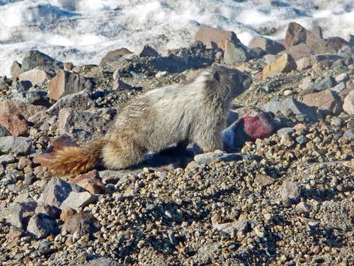 Marmot near Camp Muir