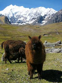 Alpacas in the Cordillera Vilcanota