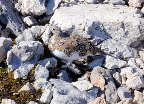 Ptarmigan On Ptarmigan Peak