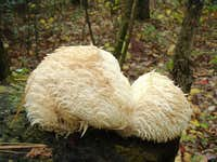 Big White Fungus