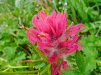 Paintbrush Flower with Droplets