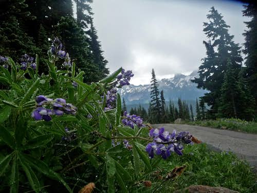 Lupines with the Trail