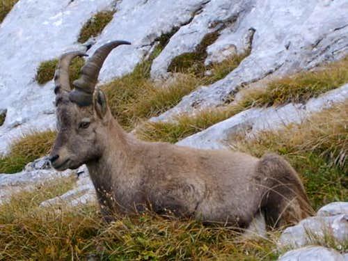 Rock goat relaxing in a...
