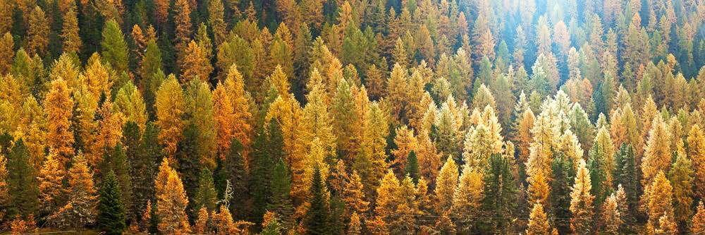 Larch trees, Dolomites