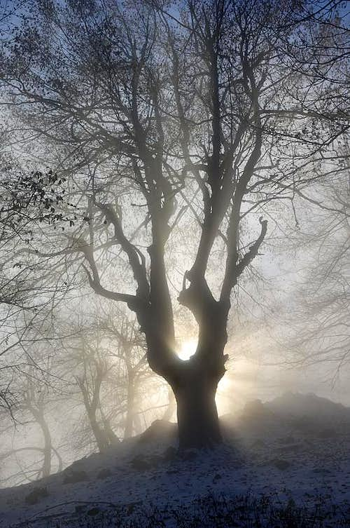 Druid tree