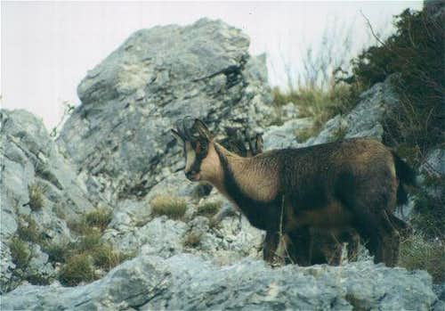 A chamois of Val di Rose