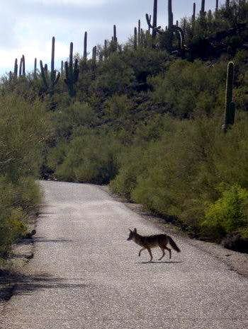 Injured Coyote
