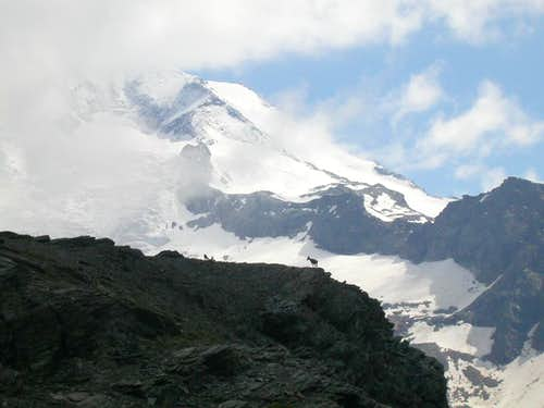 Chamois on the Monte Rosa
