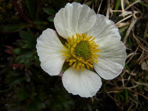 Jotunheimen flora