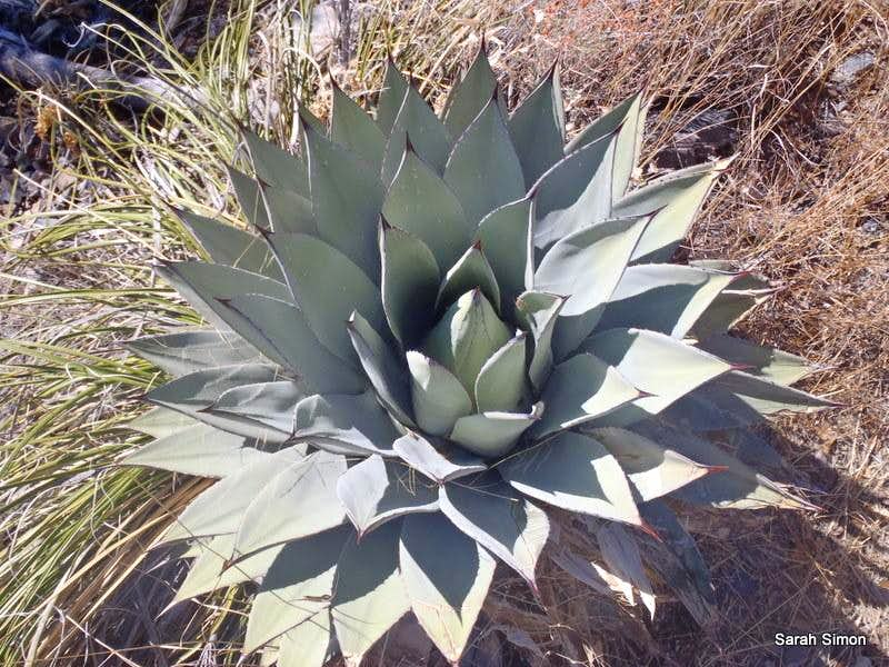 Agave in the Sierrita Mountains