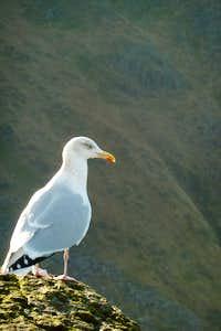 Seagull on Tryfan
